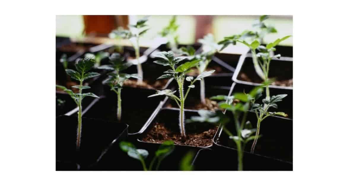 Plant seedlings in a tray